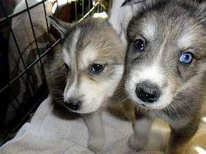 Huskies Wolf mix - Common Information and Pictures