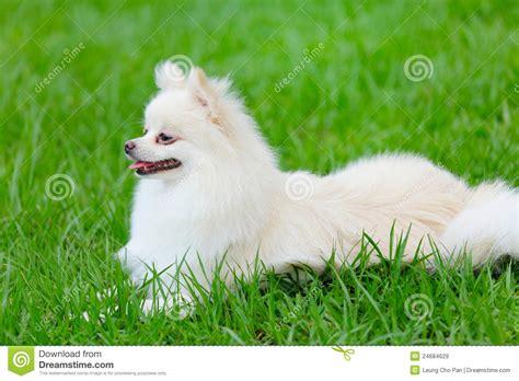 white pomeranian dog royalty  stock images image