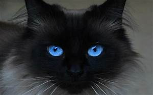 Beautiful Blue Eyes Cats Wallpapers HD For Desktop – HD ...