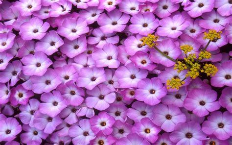 fiori lillà nature in your mind fiori ed altre piante in un