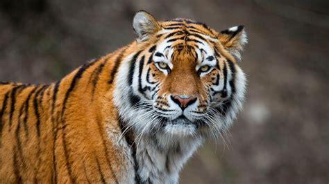 Siberian Tiger Wallpaper  Wallpaper Studio 10  Tens Of