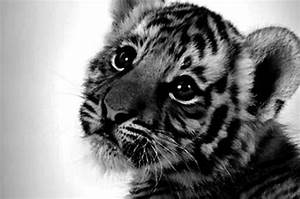 baby animal, baby tiger, big eyes, cute - image #777388 on ...