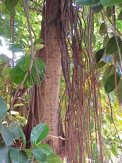 gummibaum im freien gummibaum