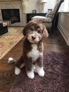 do f1 aussiedoodles shed 17 best images about dogs on poodles spaniels
