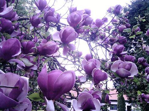 purple magnolia trees lilac magnolia art photo beautiful flowers lilac magnolia tree 95073