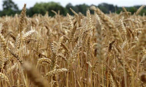 Eksperti: Kviešu cenas pasaulē sasniegs pēdējo 18 gadu ...
