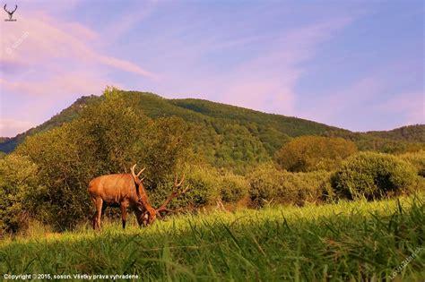 na paši - poľovnícka fotografia, fotka, poľovnícke foto ...