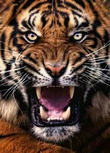 272 best Angry big cats images on Pinterest | Wild animals ...