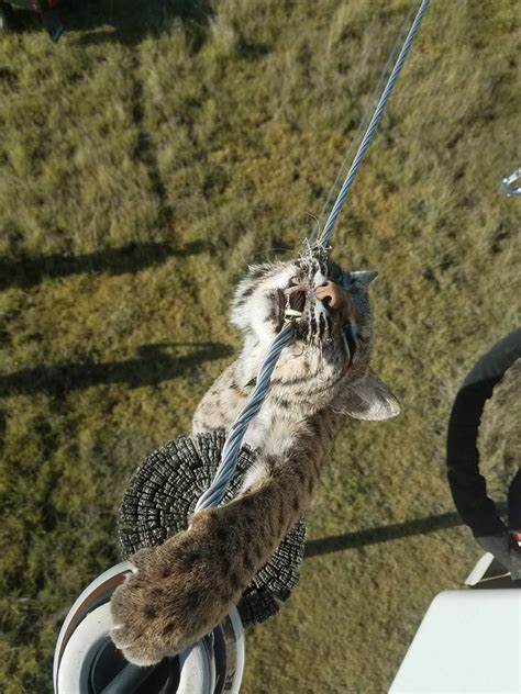 bobcat power pole line electrocuted kansas electric utility hanging crazy knocks gets animal land climbs oliver chris feet atop somehow