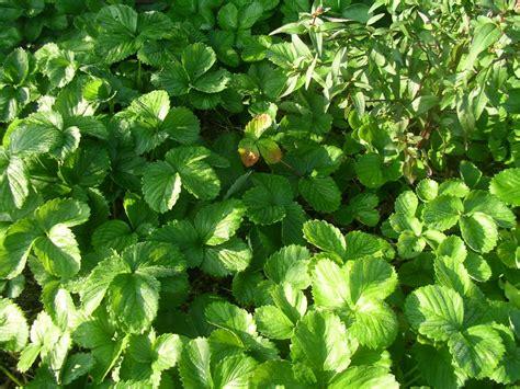 wann erdbeeren pflanzen wann erdbeeren pflanzen erdbeeren pflanzen wann ist die