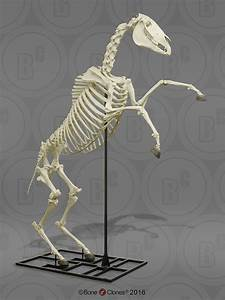 Articulated Horse Skeleton