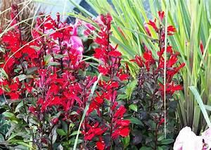 Blühende Stauden Winterhart : lobelia speciosa fan scarlet rote rot bl hende lobelie herbstblumen ~ Buech-reservation.com Haus und Dekorationen
