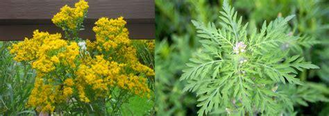 what does ragweed look like goldenrod vs ragweed dodge county
