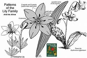 Liliaceae  Lily Family  Identify Plants And Flowers