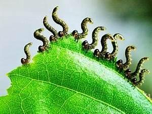 Garten Schädlinge Bekämpfen : raupen im garten bestimmen zuhause image idee ~ Michelbontemps.com Haus und Dekorationen