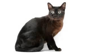 burmese cat burmese cat breed information