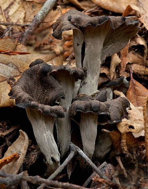 pate trompette de la mort craterellus cornucopioides