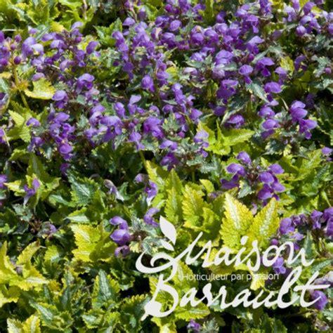 lamium greenaway lamium maculatum anna greenaway