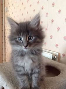 Pedigree Norwegian Forest Cats For Sale
