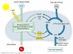 Magic School Bus Light Energy Photosynthesis And Cellular Respiration Ms Noller 39 S