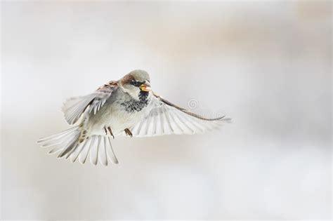 bird sparrow  flying straight   sky stock image image  nature beauty