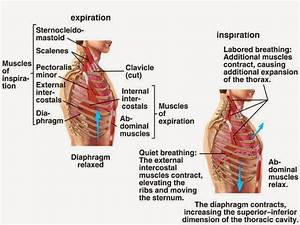 Mechanism And Events Occurring During Breathing