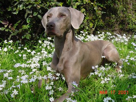 Weimaranerpictures Of Dogs And All About Dog