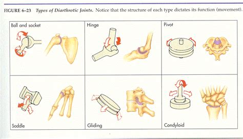 Diarthrotic Joints Examples