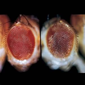 Carolina Biological Supply Drosophila Manual