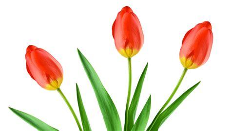 Fiori Bulbosi by Come Coltivare I Tulipani Consigli Utili Donnaorganizzata
