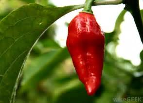 What Are Ghost Peppers
