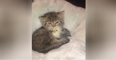Adorable Kitten Loves Cuddling With Her New Best Friend…