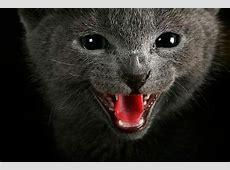 Russisch Blau Kitten Tipps und Fotos