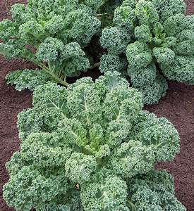 Quiet Corner:Gardening Guide - How to Grow Kale and