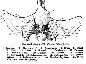 Dove Anatomy Diagram