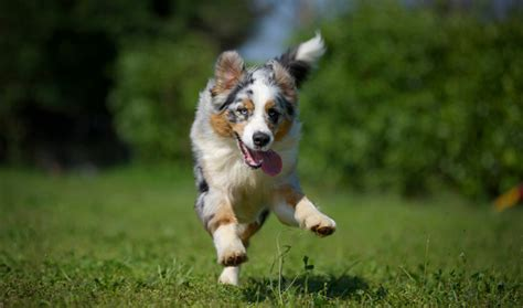 Australian Shepherd Breed Information
