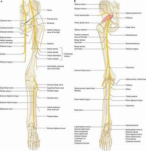 Nerves Of The Lower Limb Diagram