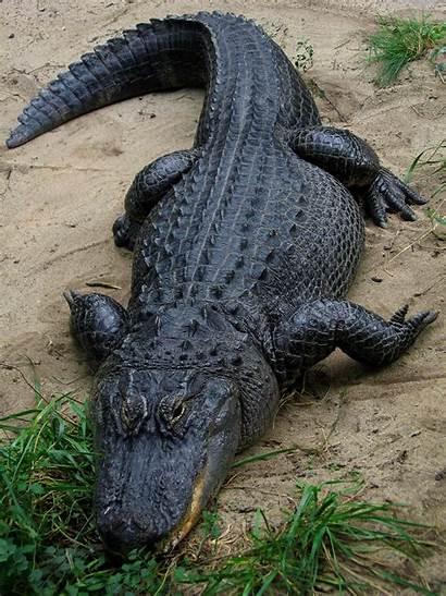 Alligator American Wikipedia Wiki