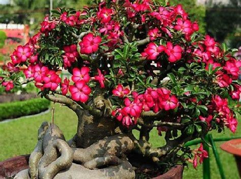 merawat adenium  rajin berbunga bibitbungacom