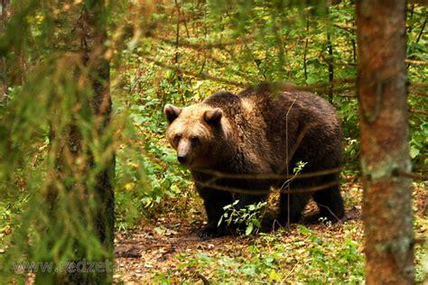 Lācis - Brūnais lācis (Ursus arctos) - redzet.lv