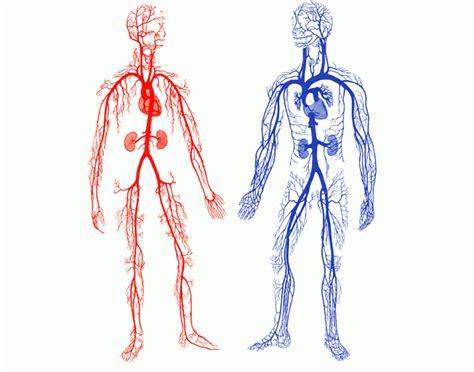 arteries  veins   human body purposegames
