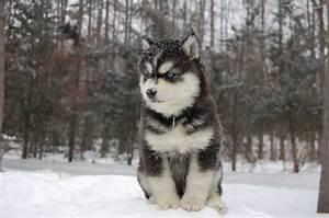 Husky Australian Shepherd Mix - Dog Training Home | Dog Types