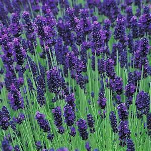 Plant De Lavande : arbustes et vivaces lavandula angust hidcote ~ Nature-et-papiers.com Idées de Décoration