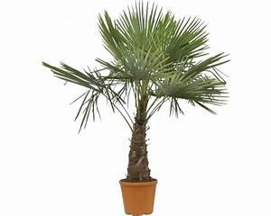 Palmen Kaufen Baumarkt : palmen bilder zimmerpflanzen zimmerpflanzen palmen biorhythmuskalender zimmerpflanzen palmen ~ Orissabook.com Haus und Dekorationen