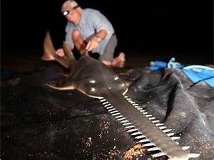 Elusive Sawfish on the Razor Edge of Extinction : TreeHugger