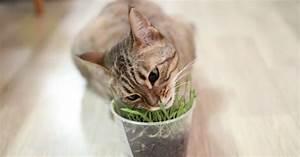 Herbe à Chat : l herbe chat alimentation du chat wamiz ~ Melissatoandfro.com Idées de Décoration