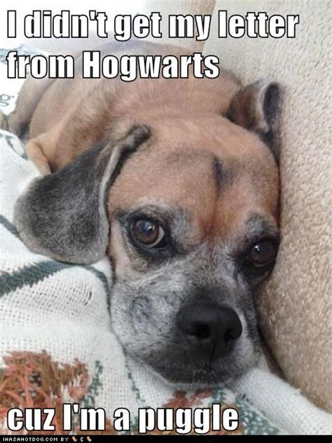 puggles    hotdog dog pictures funny pictures  dogs dog memes puppy pictures doge
