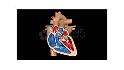 System Heart Human Cardiovascular Pumping Valves Animated