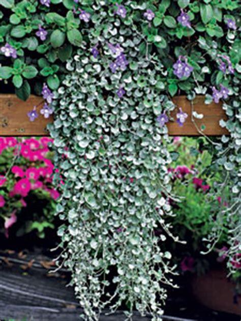 plantes exterieur toutes saisons cascade fleurie pour 233 t 233 color 233 avec des surfinias