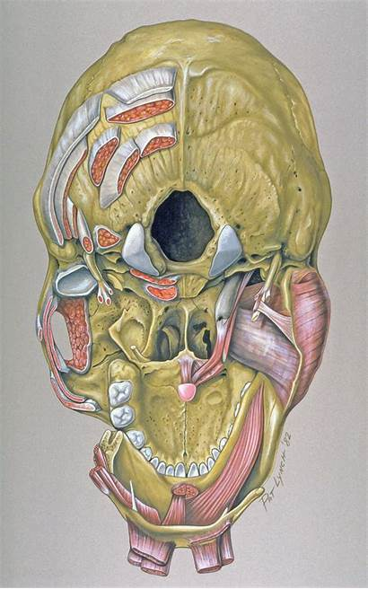 Skull Base Anatomy Muscle Attachments Inferior Anatomical